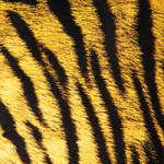 Tiger Fur - DeinDesign