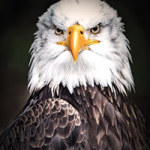 Eagle - DeinDesign
