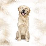 Golden Retriever - DeinDesign